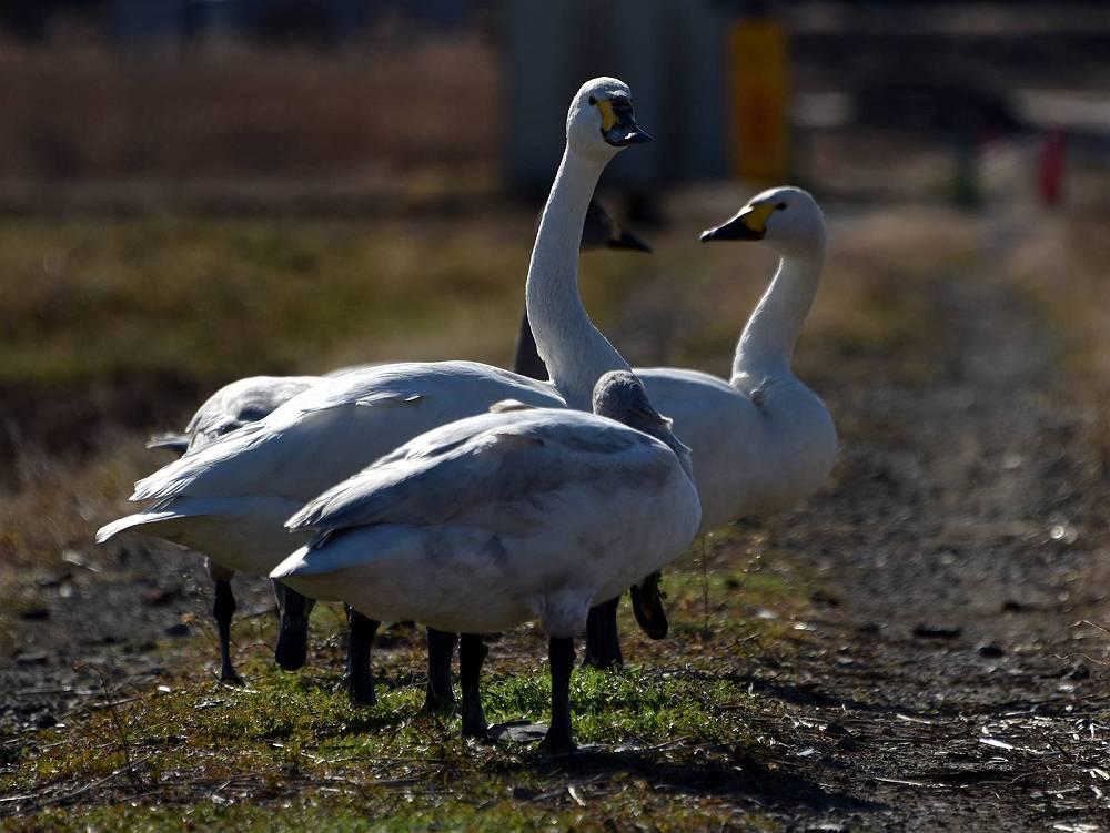 白鳥の飛来地・越辺川